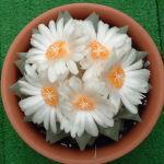 Ariocarpus retusus f.major flower