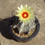 Astrophytum capricorne var. niveum