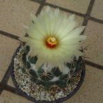 Coryphantha cornifera flower