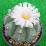 Echinocactus moelleri flower