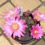 Echinocereus knippelianus flower