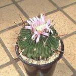 Echinofossulocactus hastatus flower