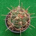 Ferocactus acanthodes var. lecontei