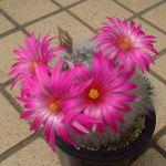 Krainzia guelzowiana var. splendens flower