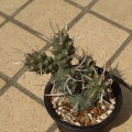 Tephrocactus glomeratus