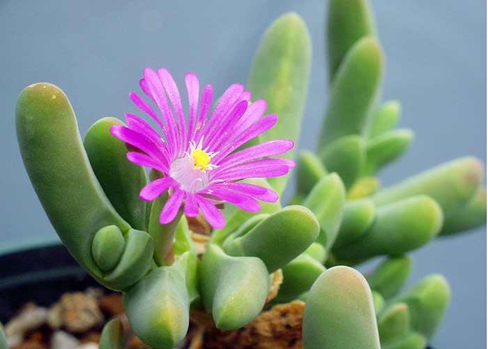 Gibbaeum geminum