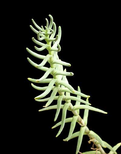 Nycteranthus noctiflorus