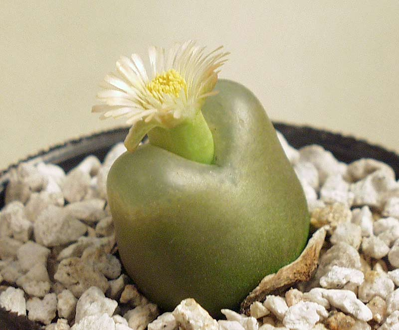 Ophthalmophyllum latum