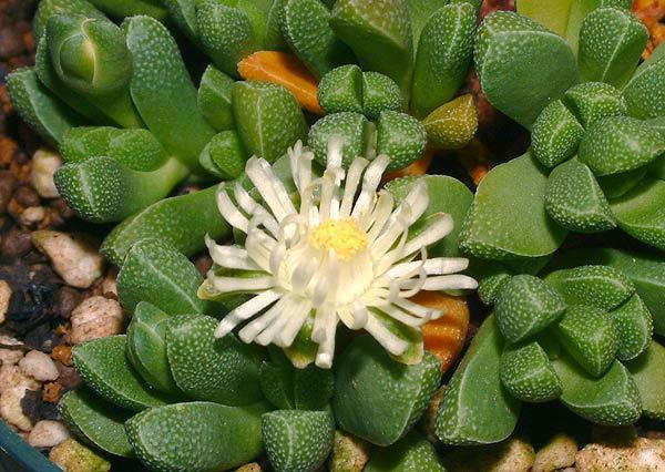 Rhinephyllum muirii
