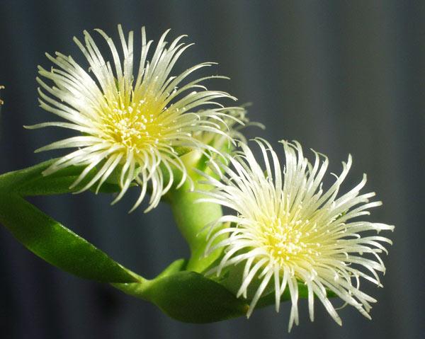 Sceletium joubertii flower