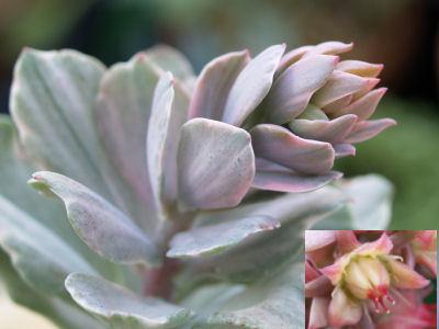 Echeveria cv. Decora variegata