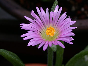 Delosperma sutherlandii flower