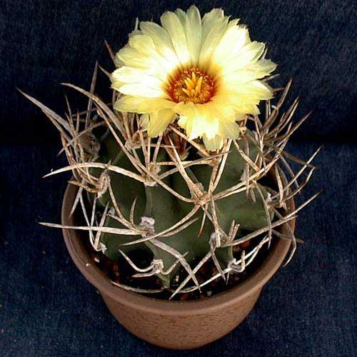 Astrophytum capricorne var. crassispinum f.aureispinum