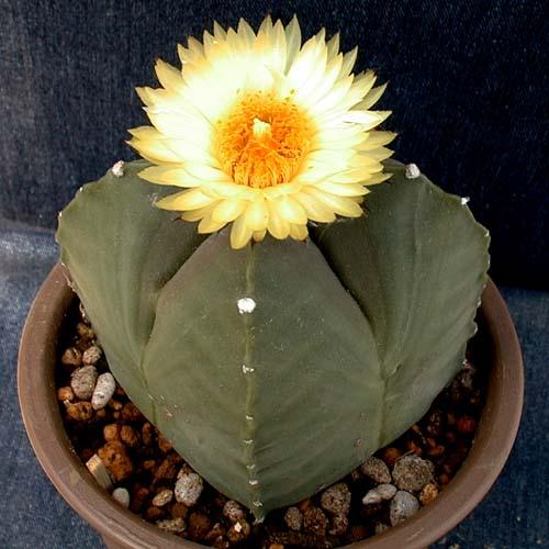 Astrophytum myriostigma var. quadricostatum f.nudum