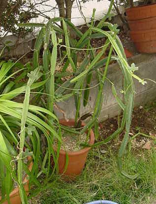 Cissus cactiformis