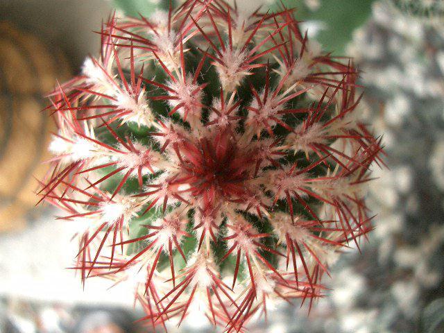 Echinocereus chloranthus var. cylindricus