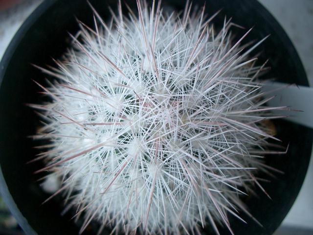 Escobaria dasyacantha var. varicolor