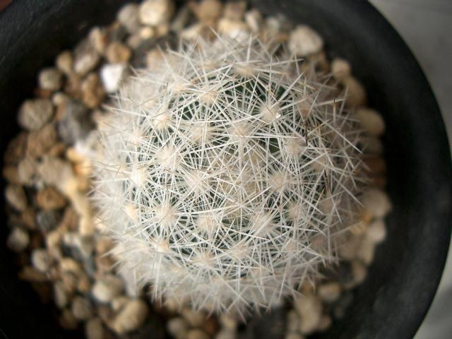 Escobaria orcuttii 白刺