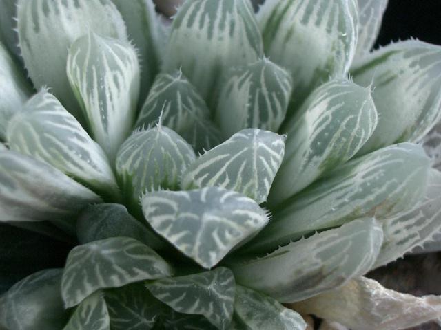 Haworthia obtusa var. pilifera ピリフェラ錦