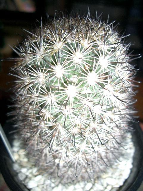 Mammillaria blossferdiana