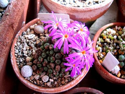 Conophytum minusculnm 'NEWLOOK'