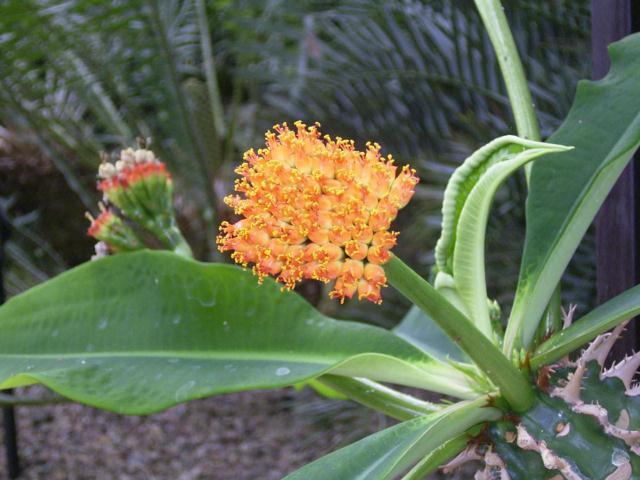 Euphorbia viguieri var. ankarafantsiensis
