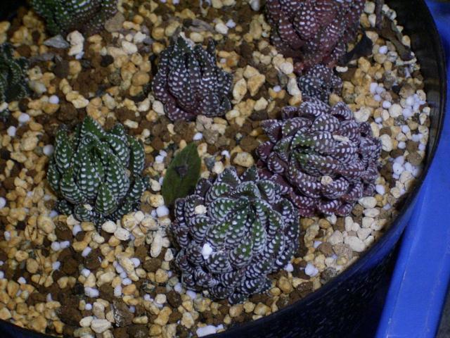 Haworthia coarctata var. coarctata