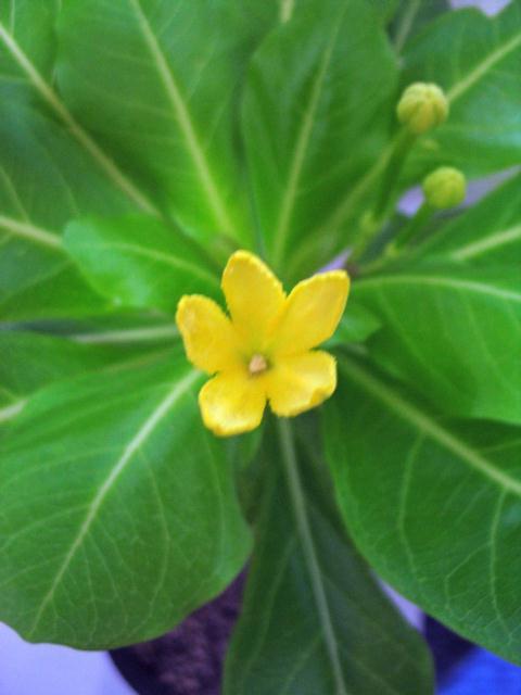 Brighamia insignis flower