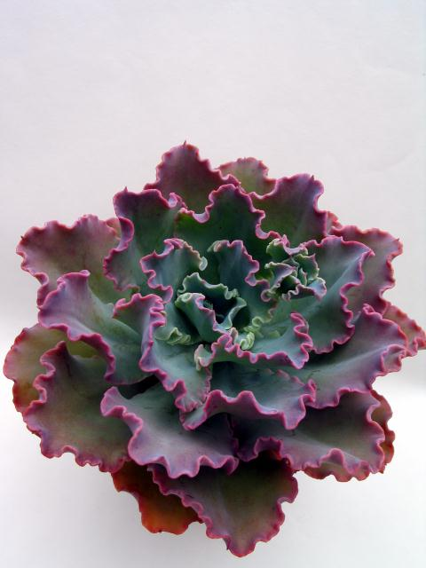 Echeveria cv. Dorothy Wright