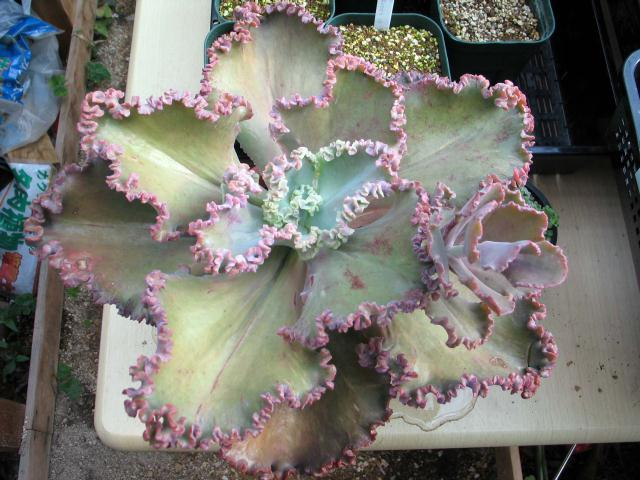 Echeveria cv. Wedding Dress