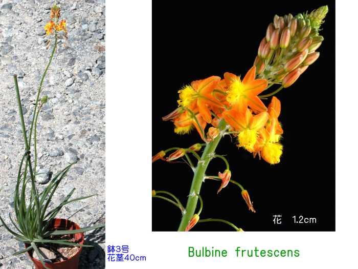 Bulbine frutescens flower