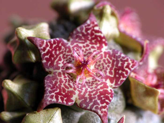 Trichocaulon marlothii flower