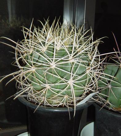 Echinocactus palmeri