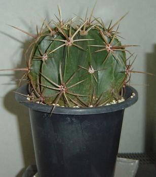 Ferocactus hystrix 豪刺文鳥丸