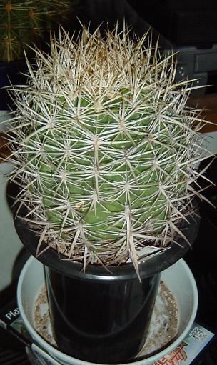 Ferocactus orcuttii 'OHGONKAN'