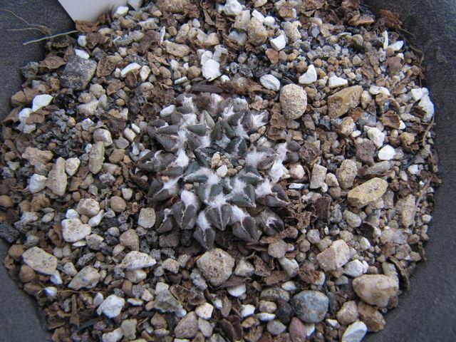 Ariocarpus kotschoubeyanus var. macdowellii