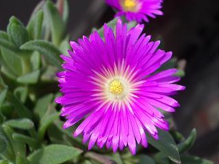 Delosperma ashtonii flower
