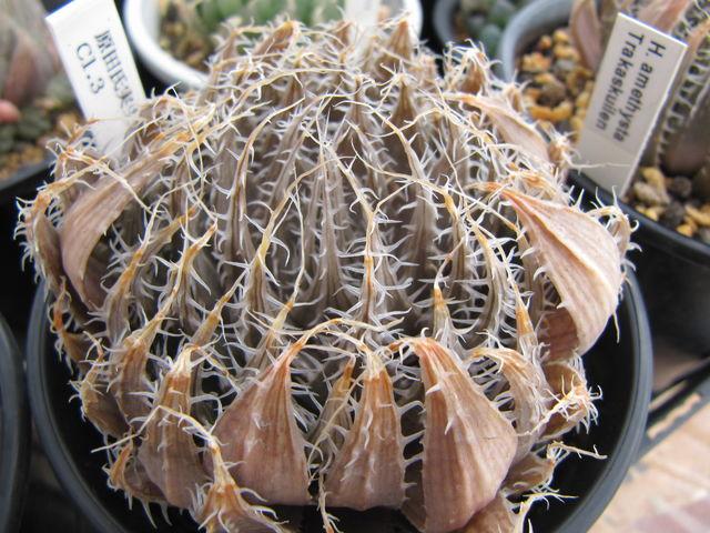 Haworthia amethysta