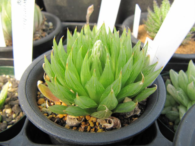 Haworthia bathylis