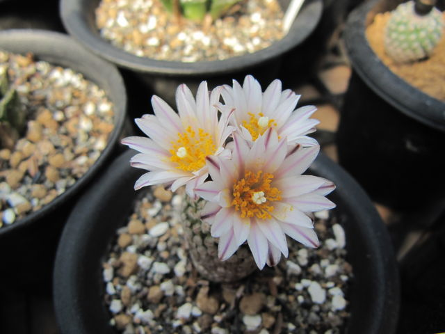Pelecyphora valdeziana white flower