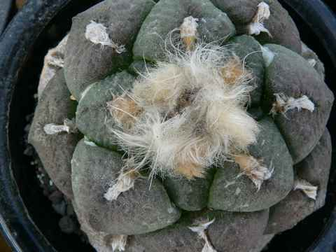 Ariocarpus fissuratus var. lloydii