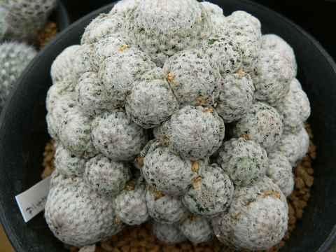 Mammillaria sanchez-mejoradae