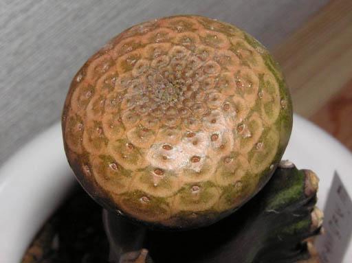 Euphorbia turbiniformis