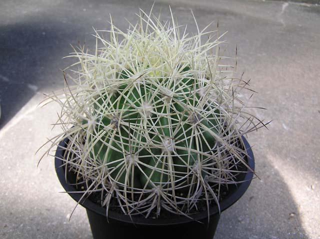 Ferocactus johnstonianus 白刺タイプ