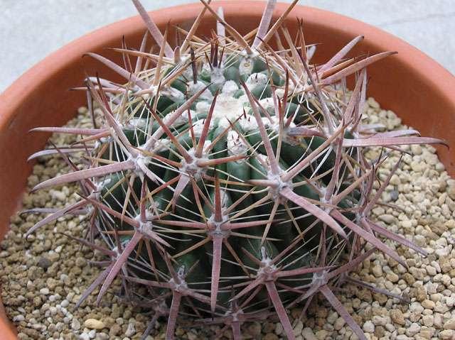 Ferocactus oreuttii