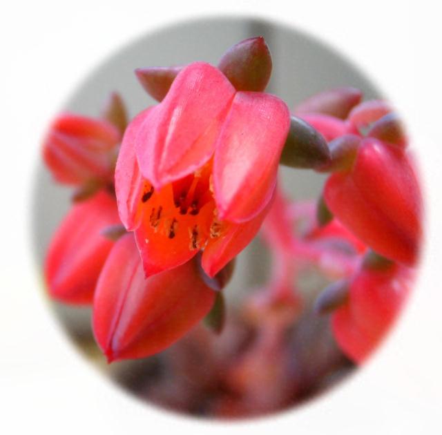 Echeveria cv. HANAIKADA flower