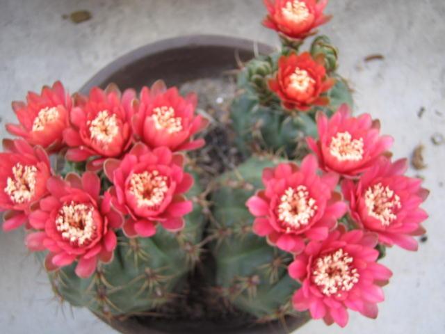 Gymnocalycium baldianum flower