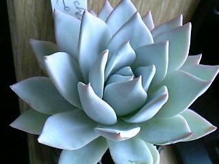 Echeveria peacockii の写真