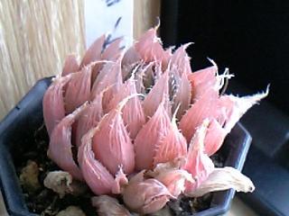 Haworthia turgida var. pallidifolia