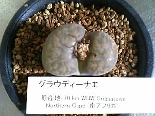 Lithops bromfieldii var. glaudinae